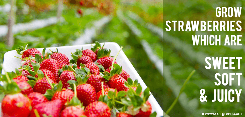 Coir – The Ideal Growing Medium for Strawberries